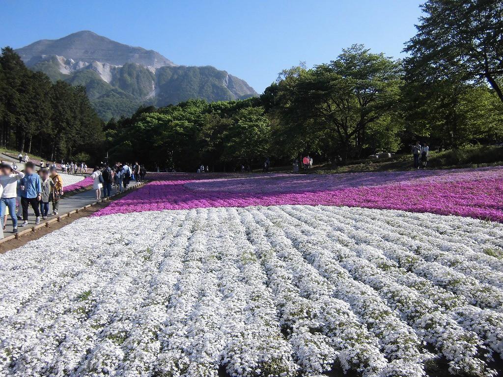 150505hitsujiyama-shibazakura-1170