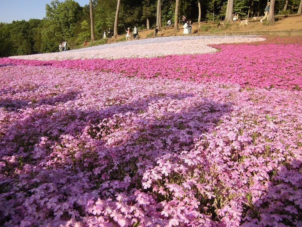 150505hitsujiyama-shibazakura-1208