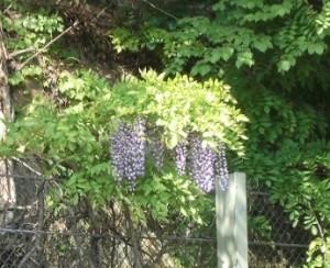 2015-5-2-ashikaga-flowerpark-0739-2