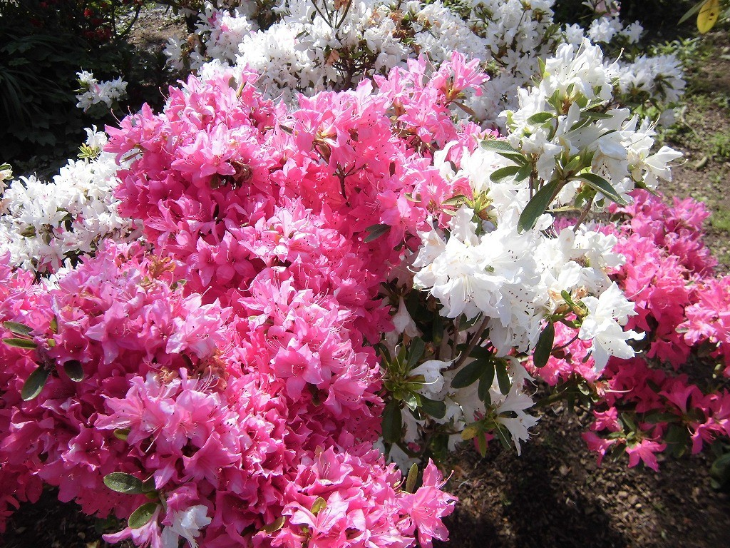 2015-5-2-ashikaga-flowerpark-0897