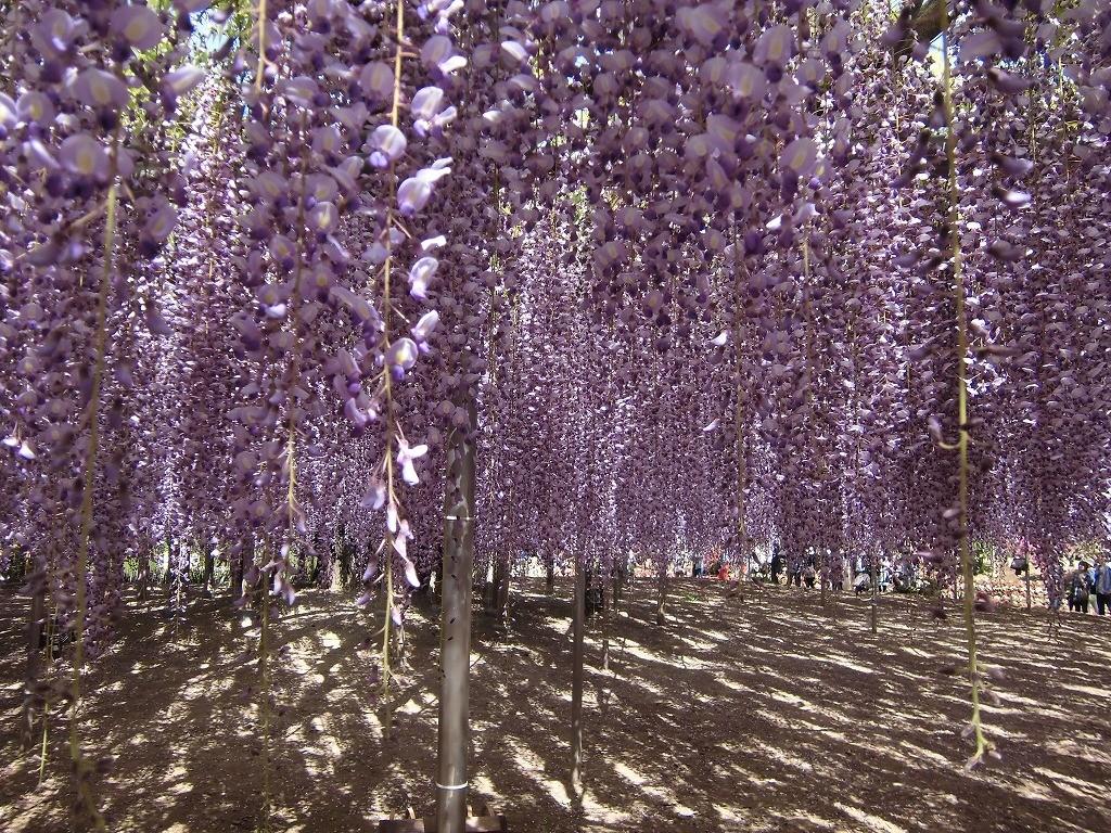 2015-5-2-ashikaga-flowerpark-0937