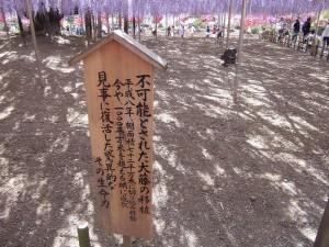 2015-5-2-ashikaga-flowerpark-0943