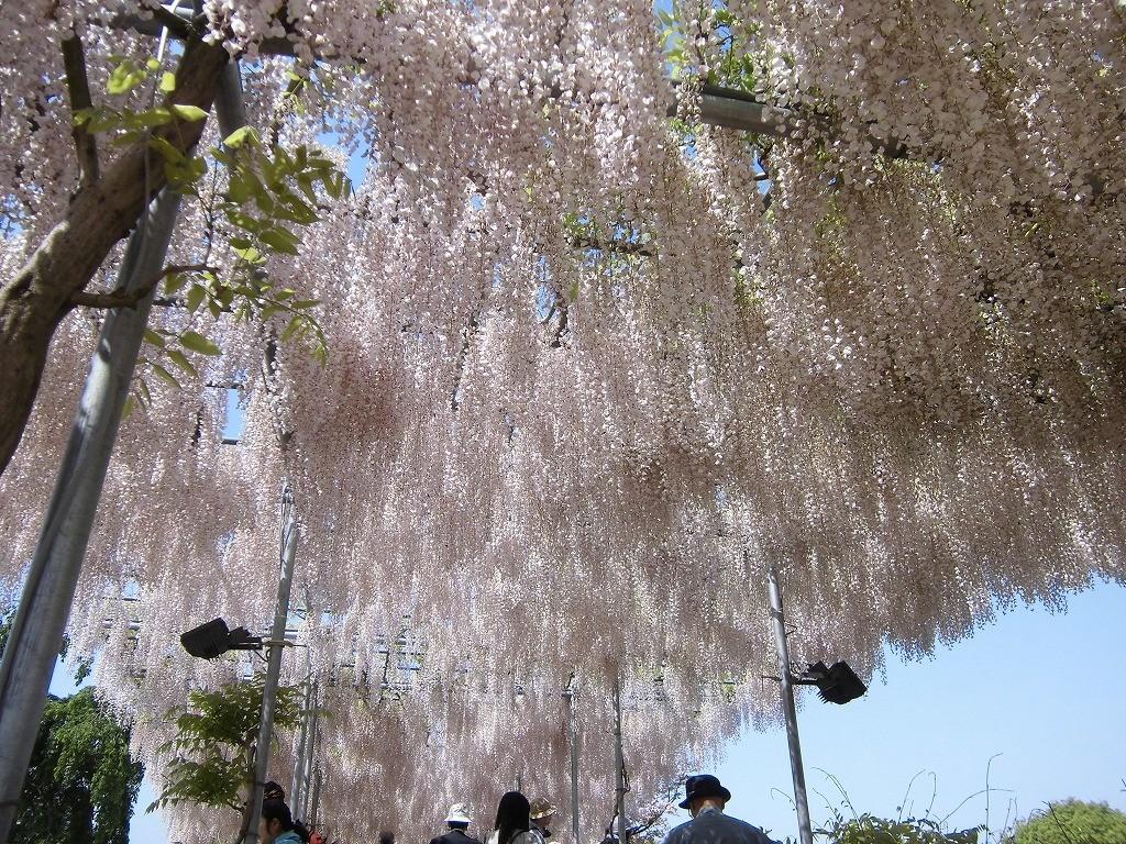 2015-5-2-ashikaga-flowerpark-0957