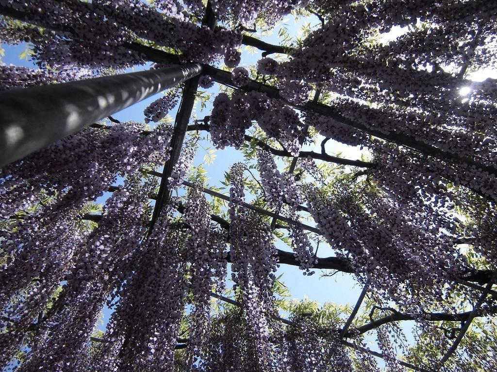 2015-5-2-ashikaga-flowerpark-0993