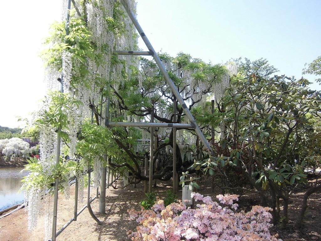 2015-5-2-ashikaga-flowerpark-1009