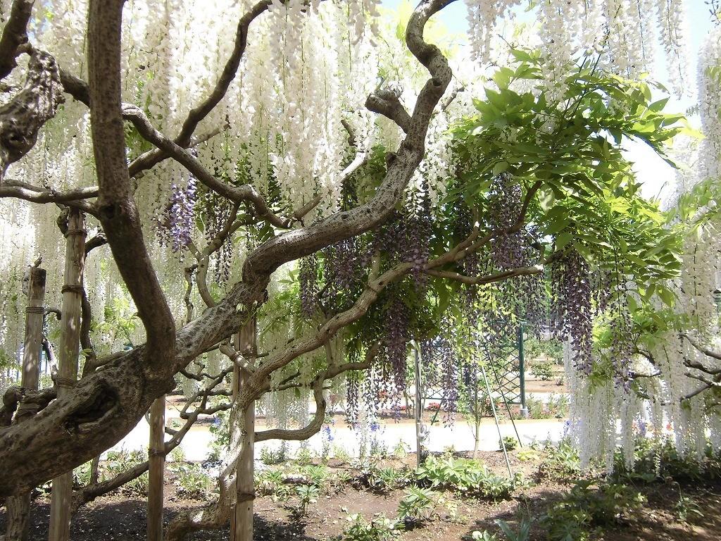 2015-5-2-ashikaga-flowerpark-1033